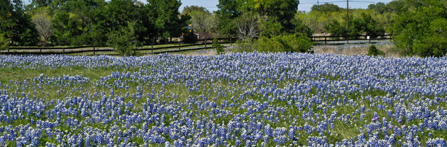 bluebonnets along a Texas road